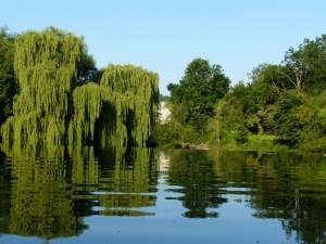 Weeping Willow next to the weir at Avoncliff